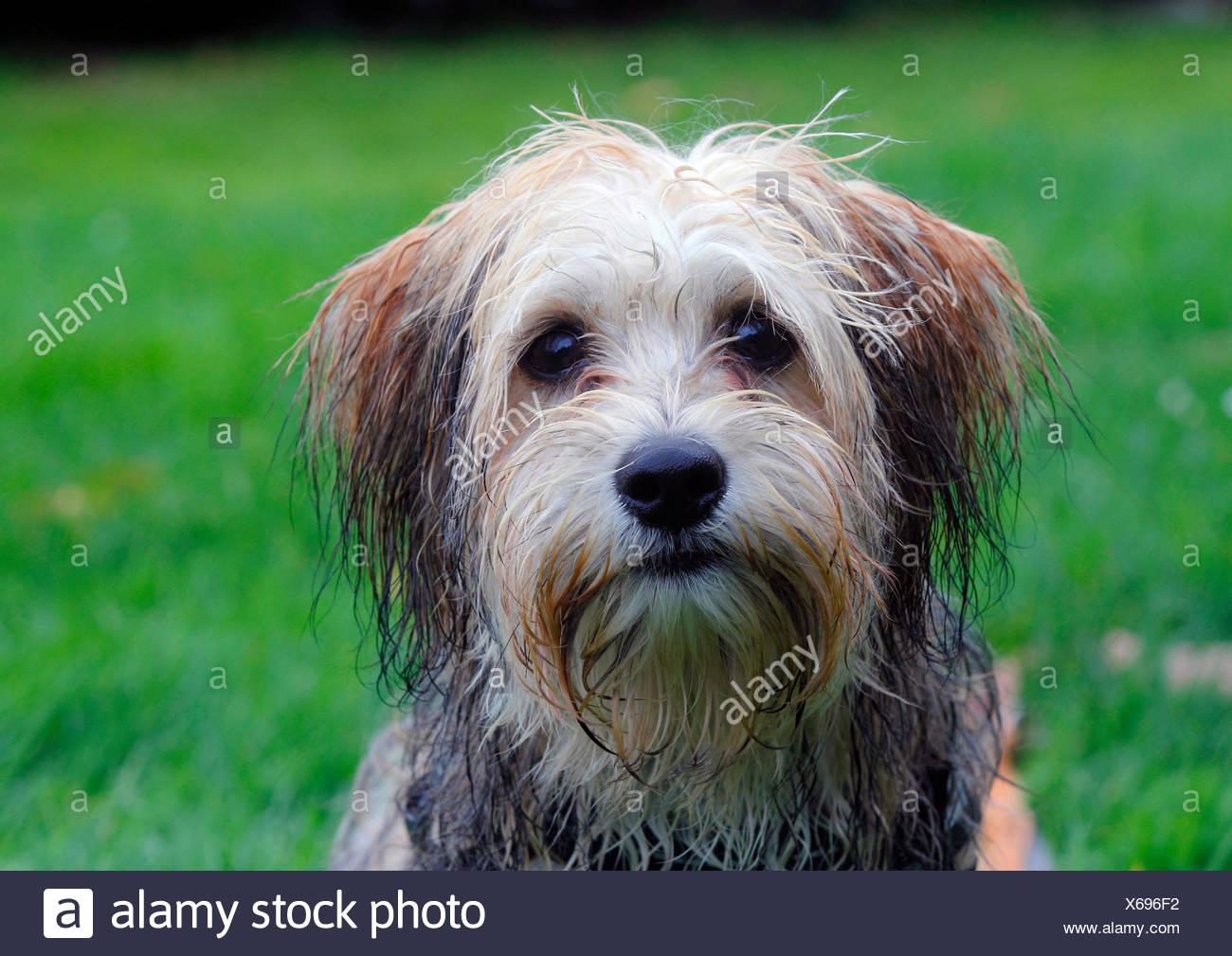 Rasse Hund (Canis Lupus F. Familiaris) gemischt, züchten fünf Monate alte männliche Malteser Chihuahua gemischt Hund, Porträt auf einer Wiese, Deutschland Stockbild