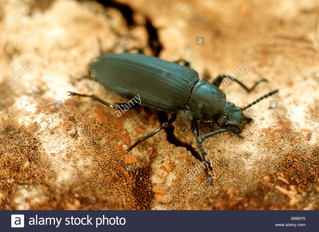 Kingworm, Superworm (Zophobas Morio), Imago, wichtige Nahrung für Terrarien Tiere Stockbild
