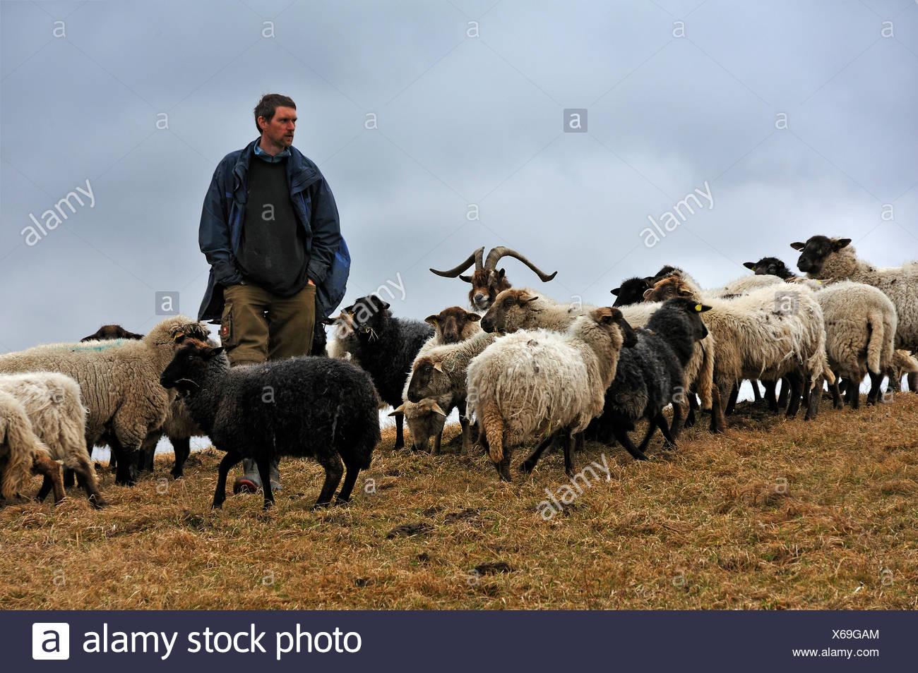 Jungbauer, die auf der Suche nach seine Schafe, eine Ziege am Zentrum, Kalkberg, Nesow, Mecklenburg-Western Pomerania, Deutschland Stockbild