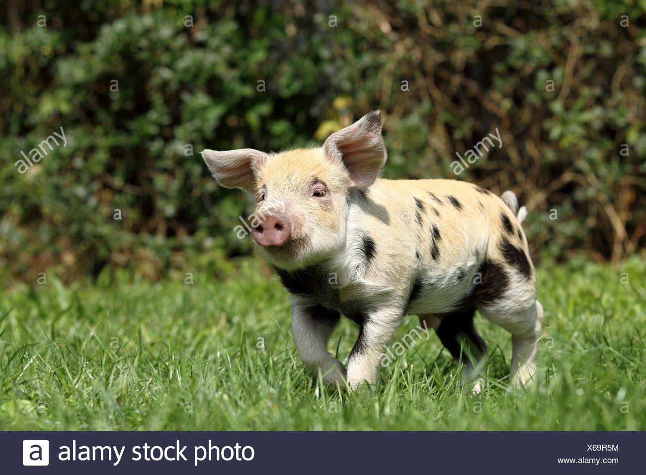 Hausschwein, Turopolje x?. Ferkel (3 Wochen alt) Trab auf einer Wiese. Deutschland Stockbild