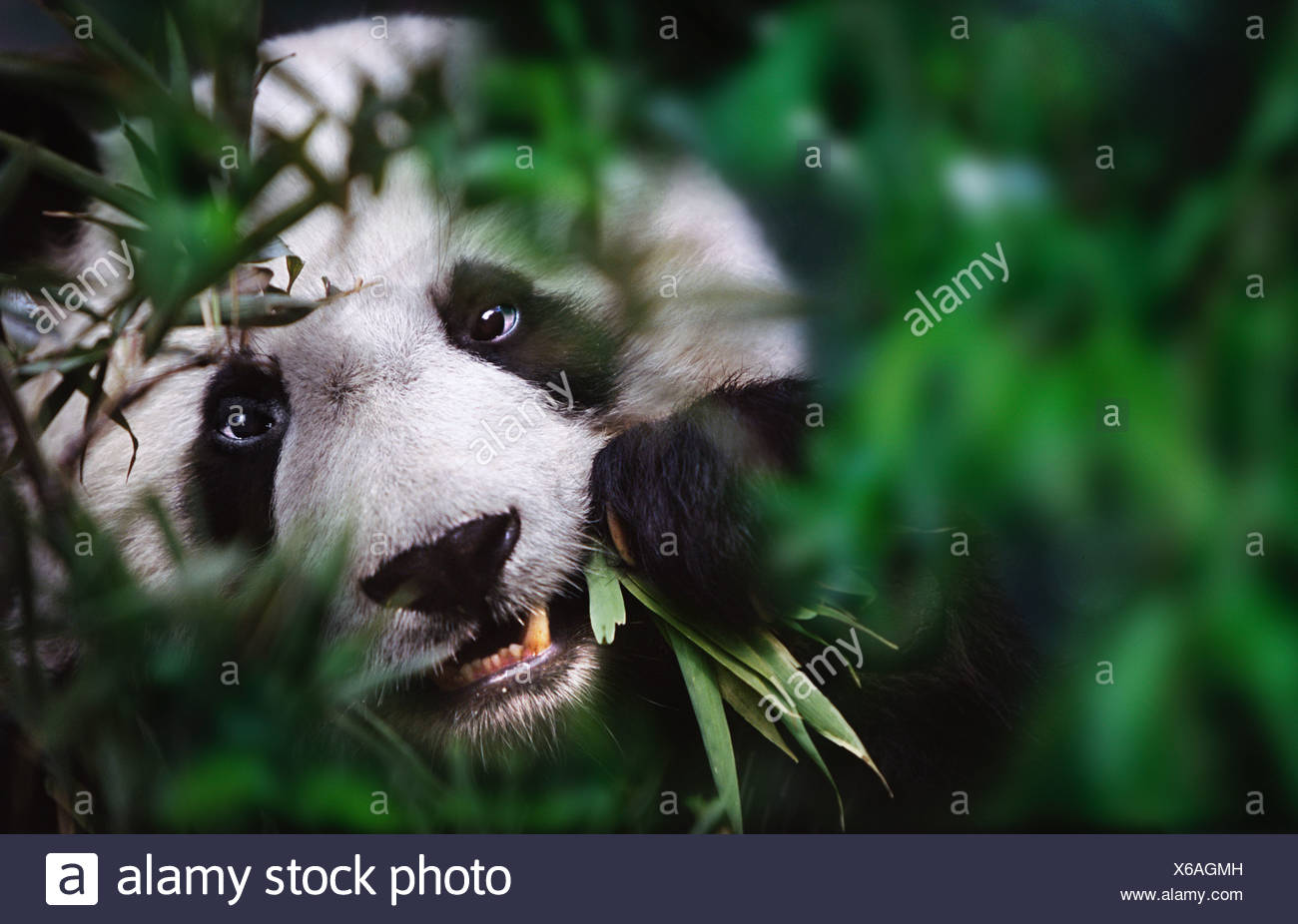 Giant Panda Bambus Sichuan China Essen Stockfoto Bild 279286465