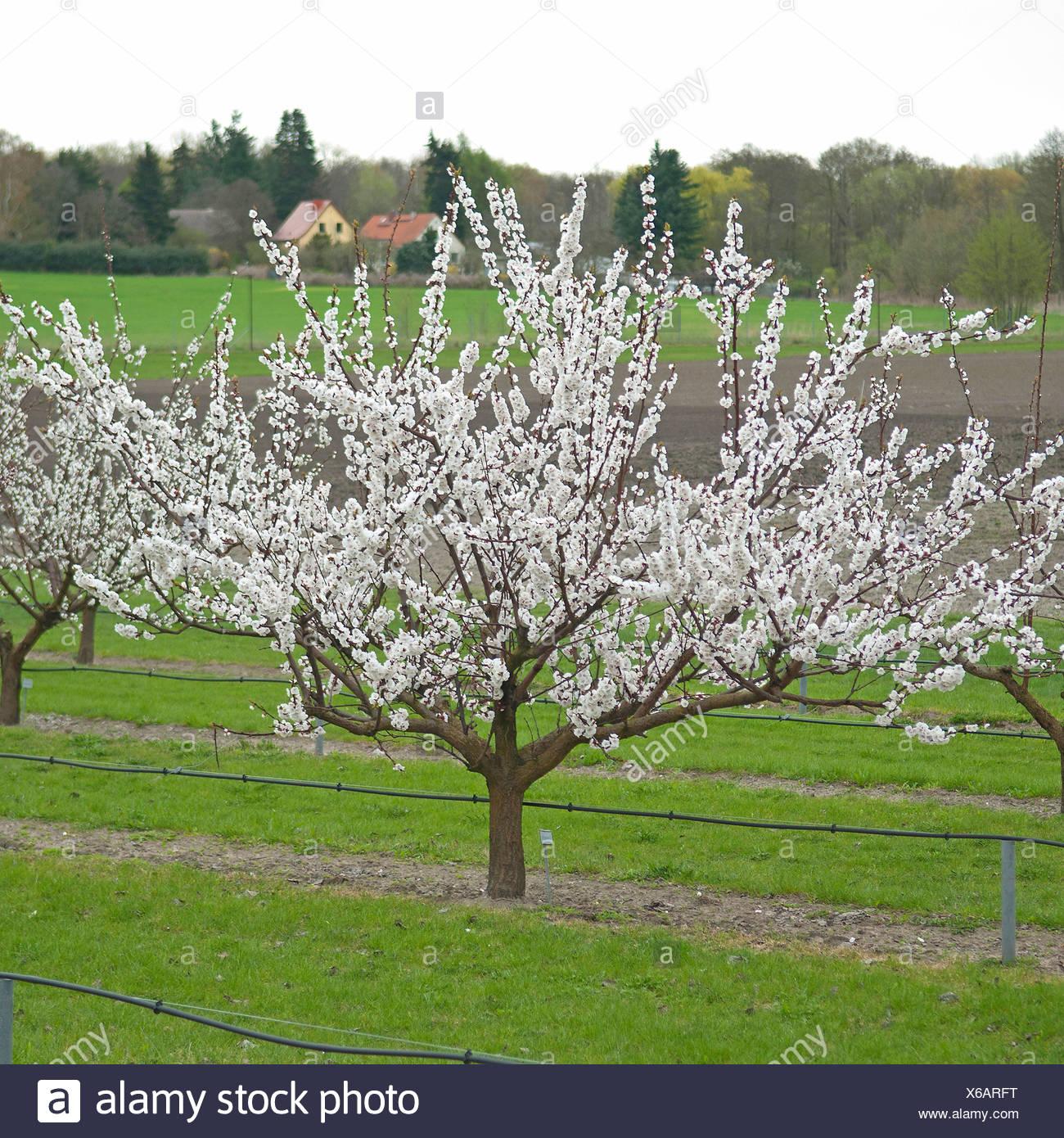 Aprikosenbaum Prunus Armeniaca Variierbare Prunus Armeniaca