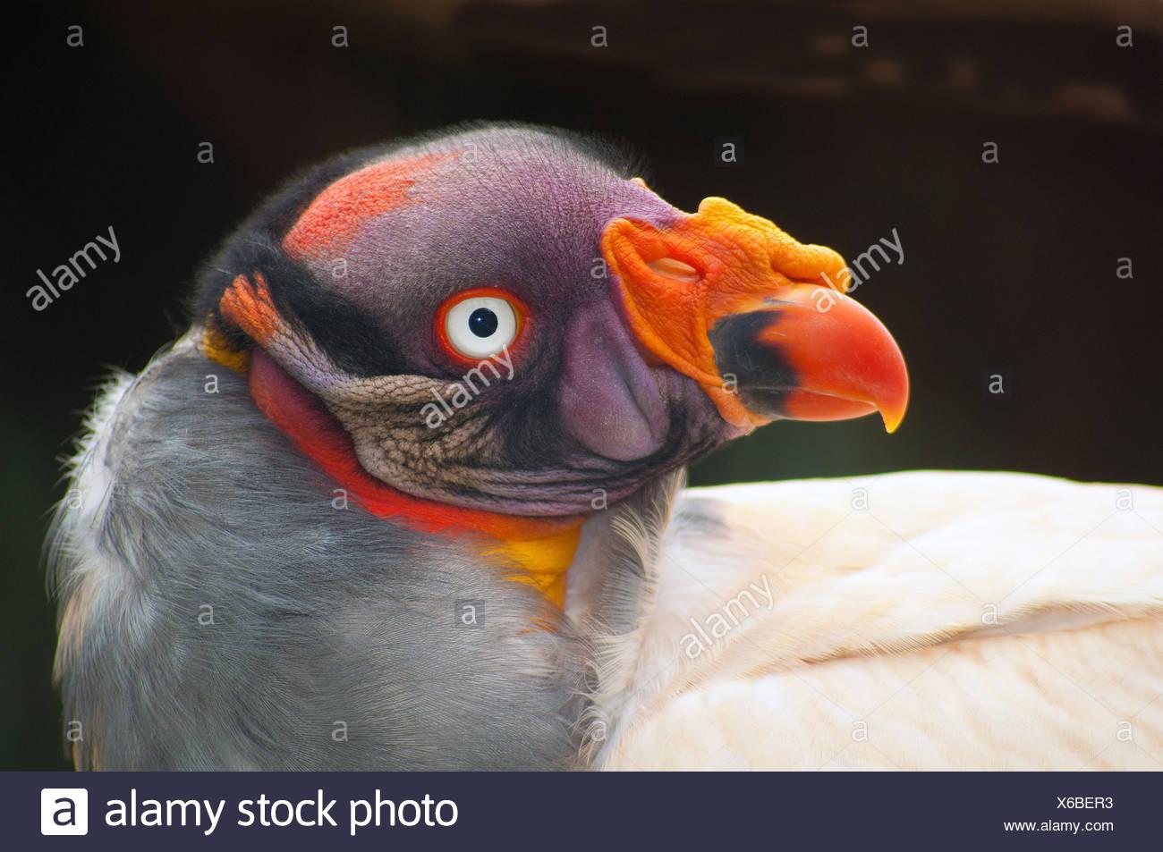 König Vulture, Südafrika Stockbild