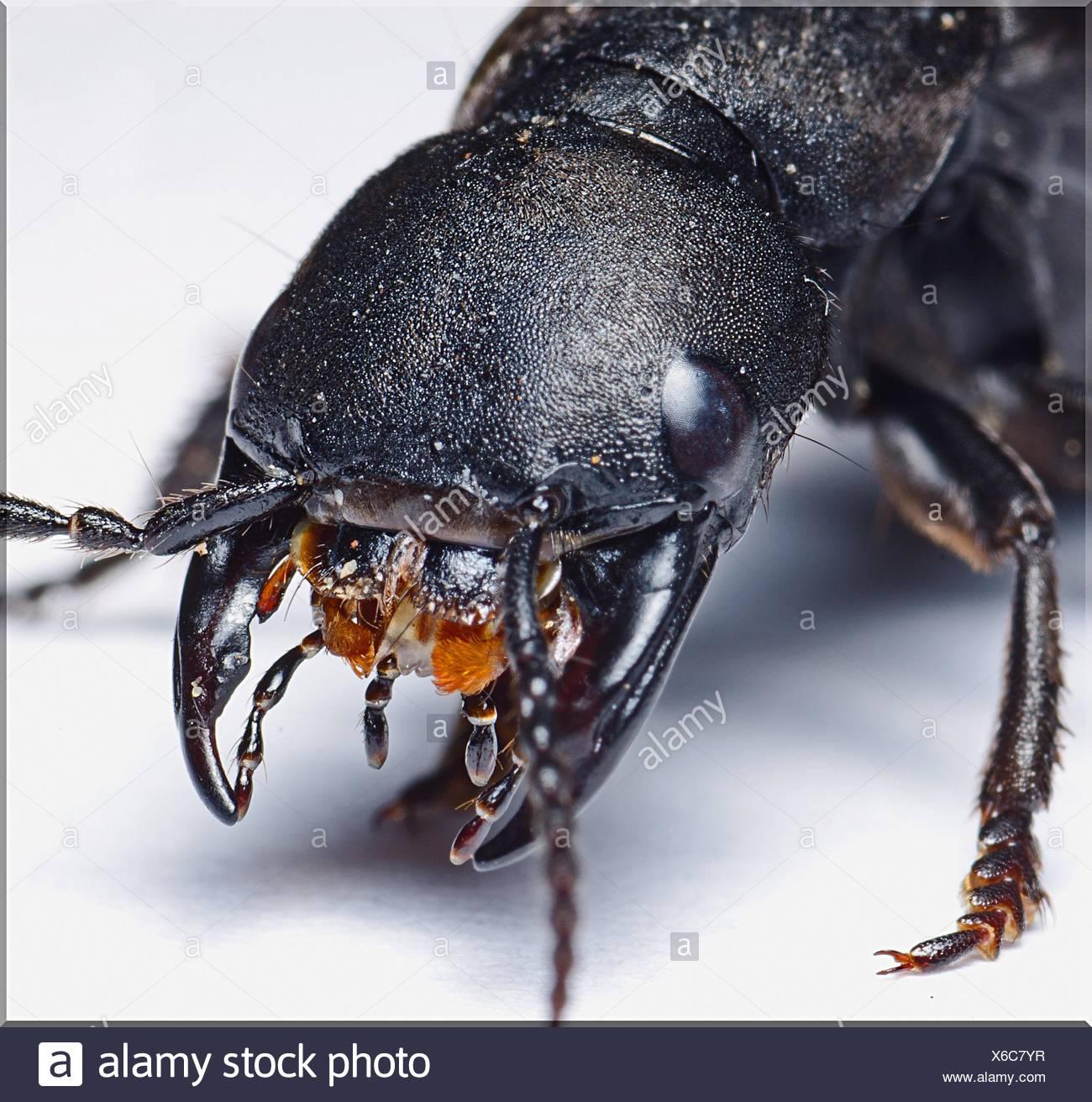 High Angle View Of schwarzes Insekt auf weißen Tisch Stockbild