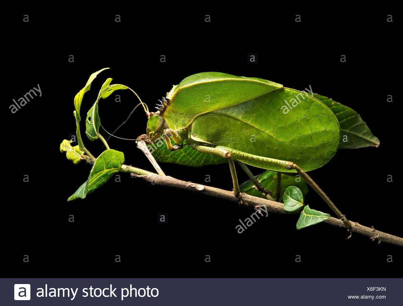 Laub locust (tettigoniidae), phytomimesis, Form und Aussehen einer Lamelle für die Tarnung, Anjozorobe Nationalpark Stockbild