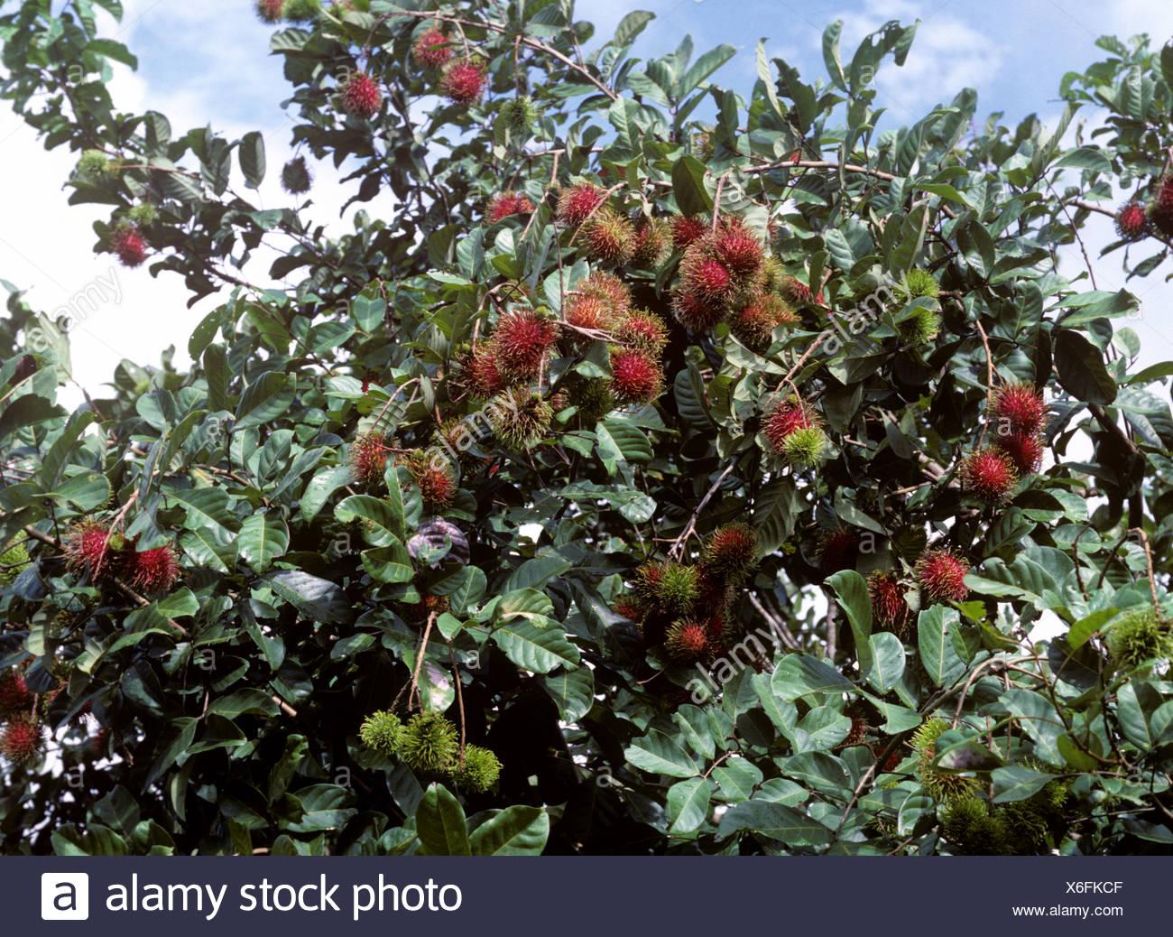 Reife Rambutan Früchte auf dem Baum Thailand Stockbild