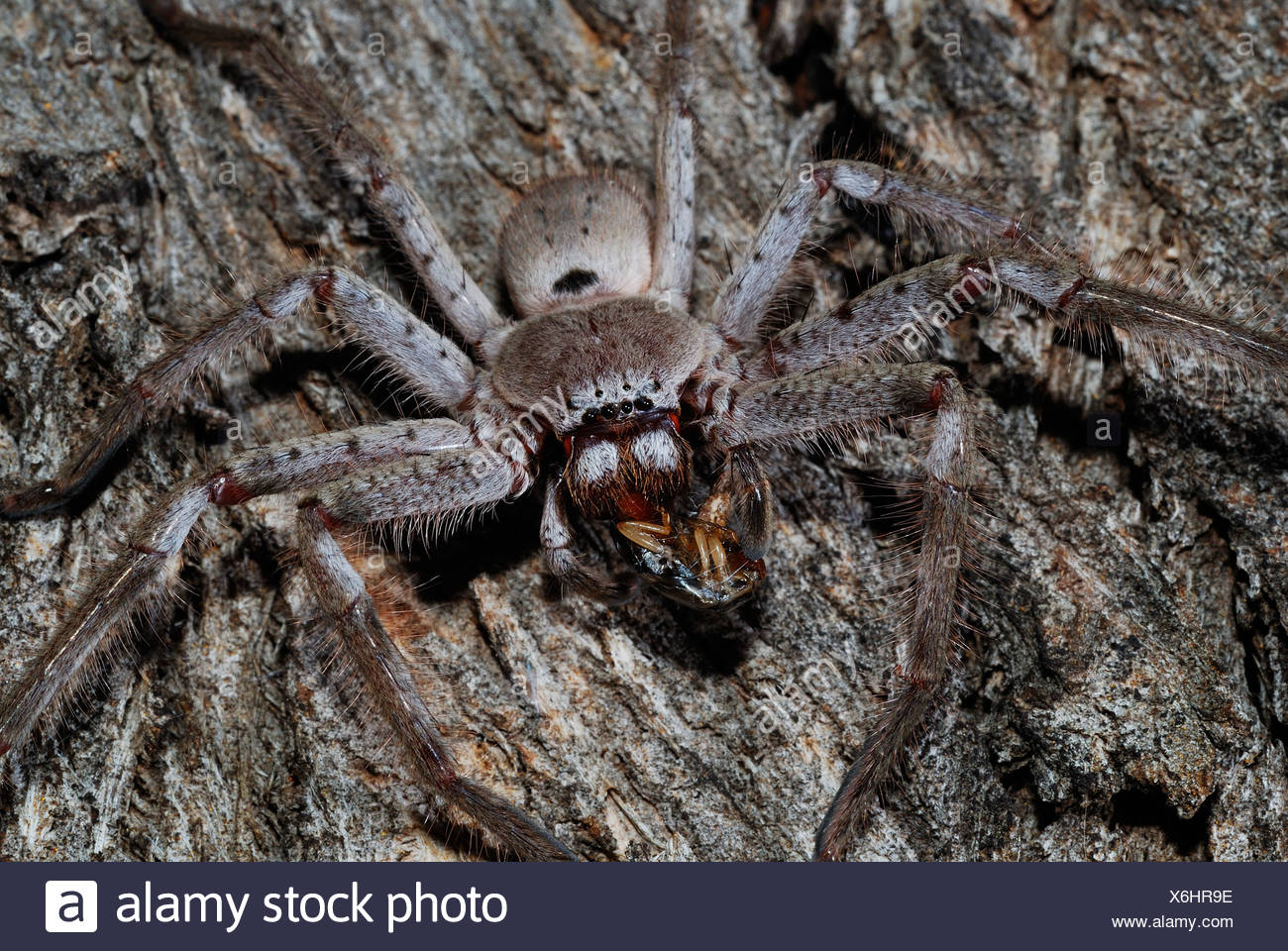Huntsman Spider Holconia Sp Essen Schabe Garten Canberra Stockfoto