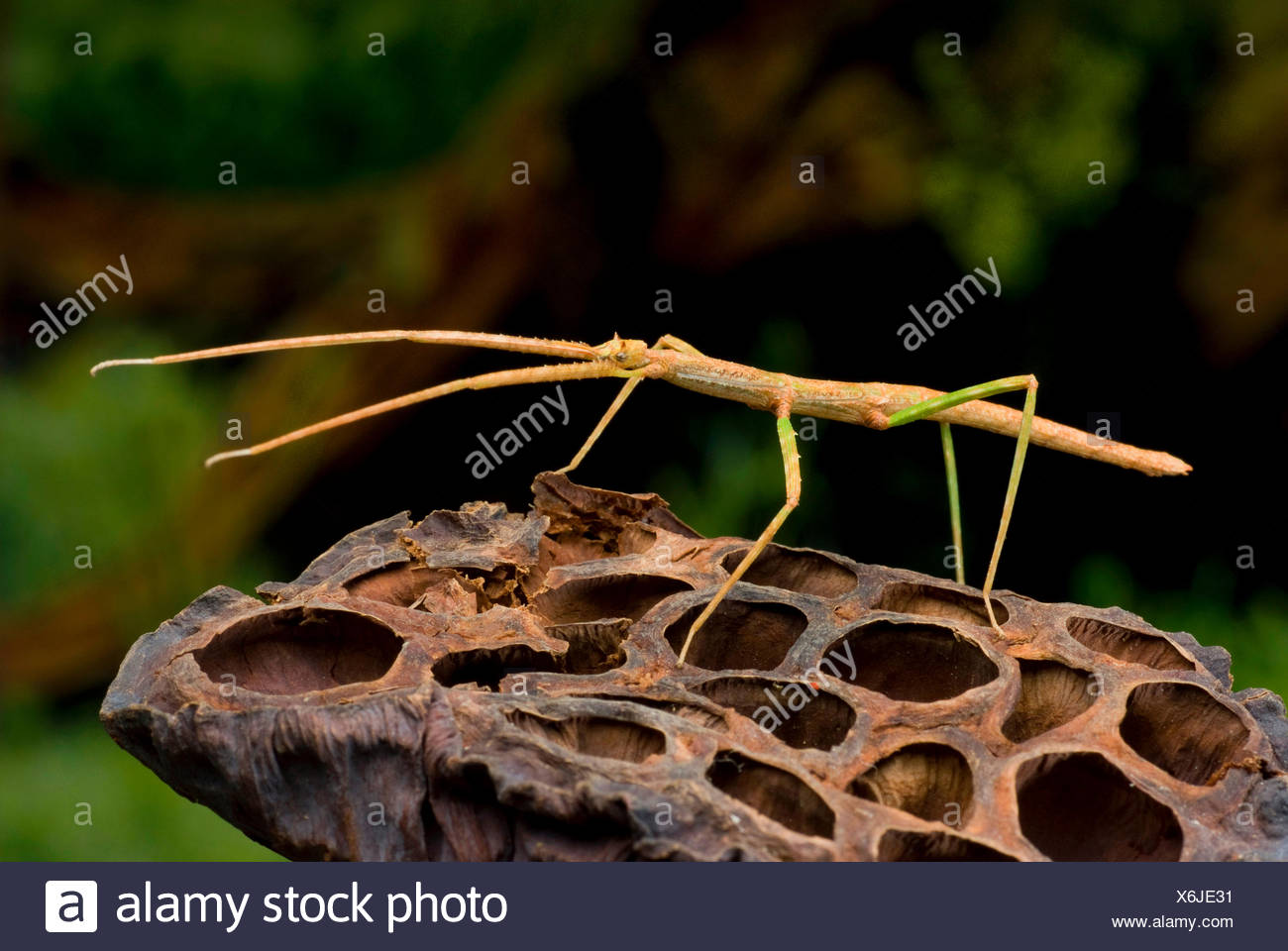 Vietnamesische Stick-Bug (Ramulus Artemis, Baculum Artemis), auf einem Seed-Schiff Stockbild