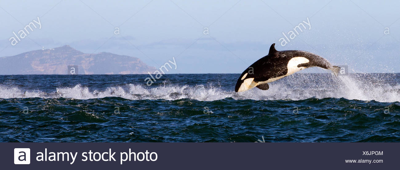 Orca (Orcinus Orca) Porpoising, False Bay, Südafrika. Stockbild