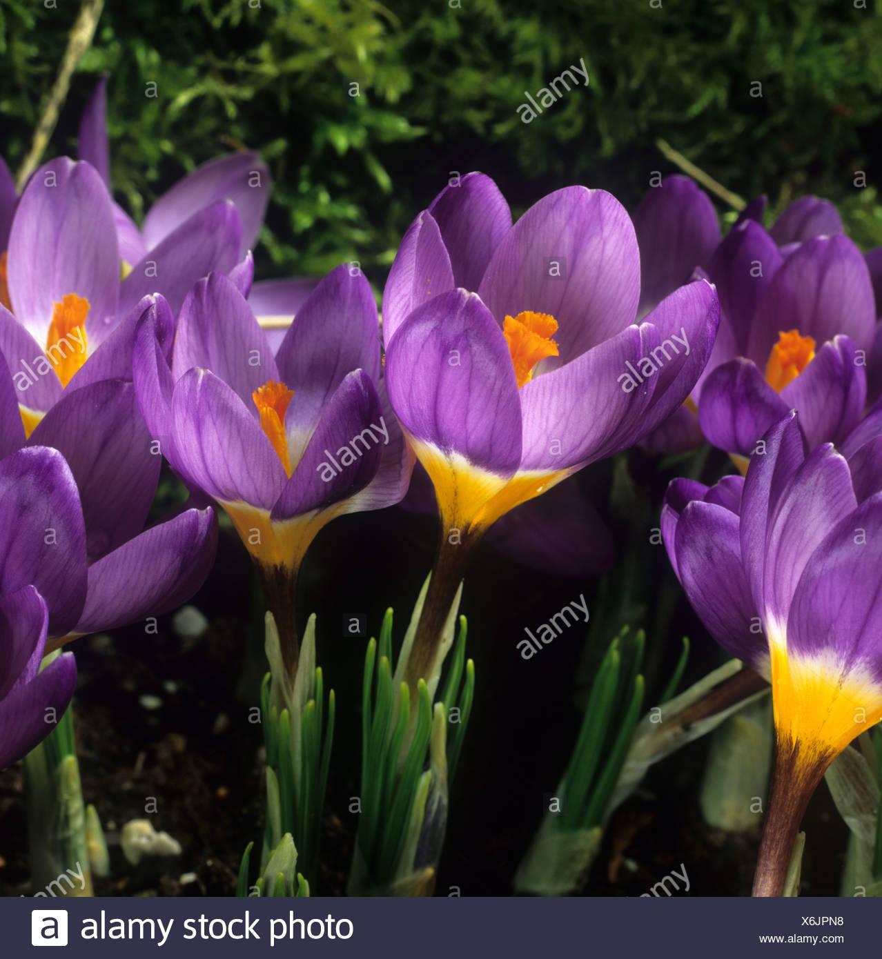 Blühenden Garten Lampe Crocus Sieberi Sublimus f Tricolor Tricolor Stockfoto