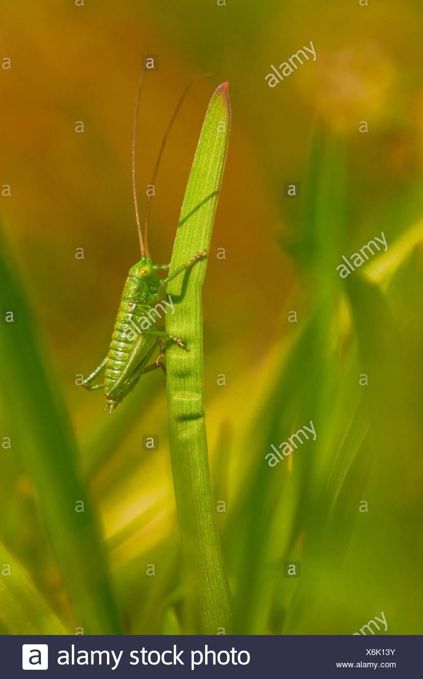 Große grüne Bush-Cricket, Larve, Deutschland / (Tettigonia Viridissima) Stockbild