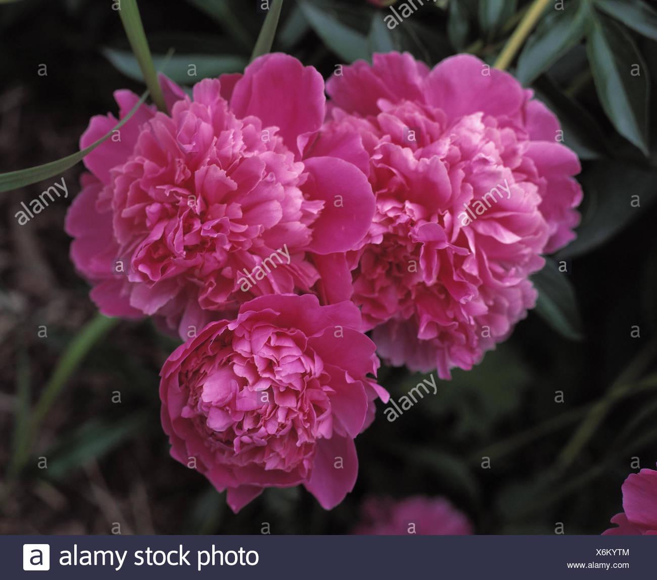 Pfingstrosen Paeonia Officinalis Pflanze Pflanzen Blume Blumen