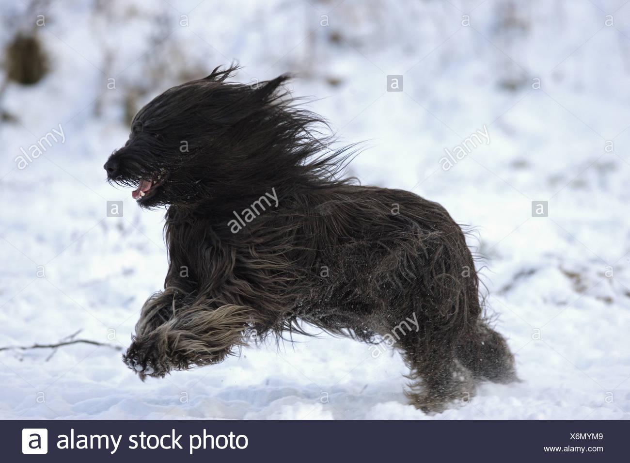 Briard - laufen im Schnee Stockbild