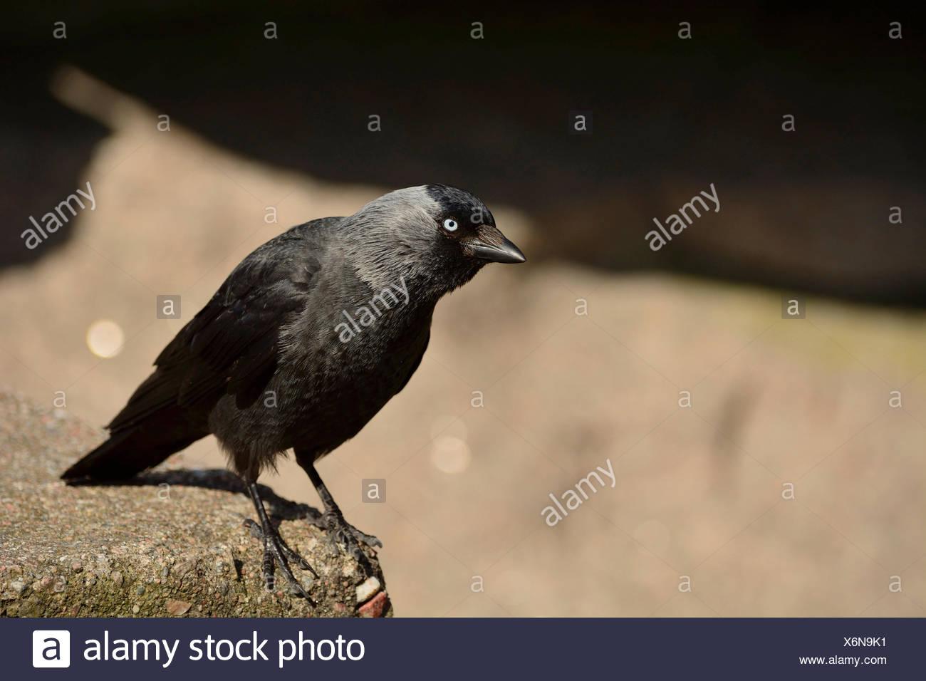 Western Dohle, Corvus Monedula, Rabenvögel, Vogel, Tier, Bovallstrand, Värmlands Län, Schweden, Europa, Stockbild