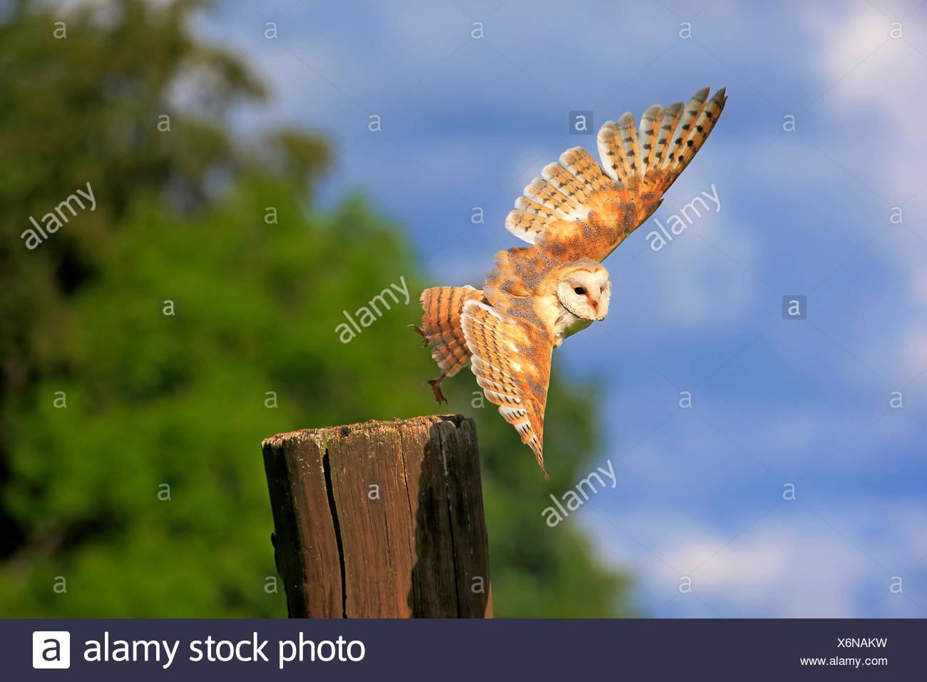 Schleiereule, Eifel, Deutschland, Europa / (Tyto Alba) Stockfoto