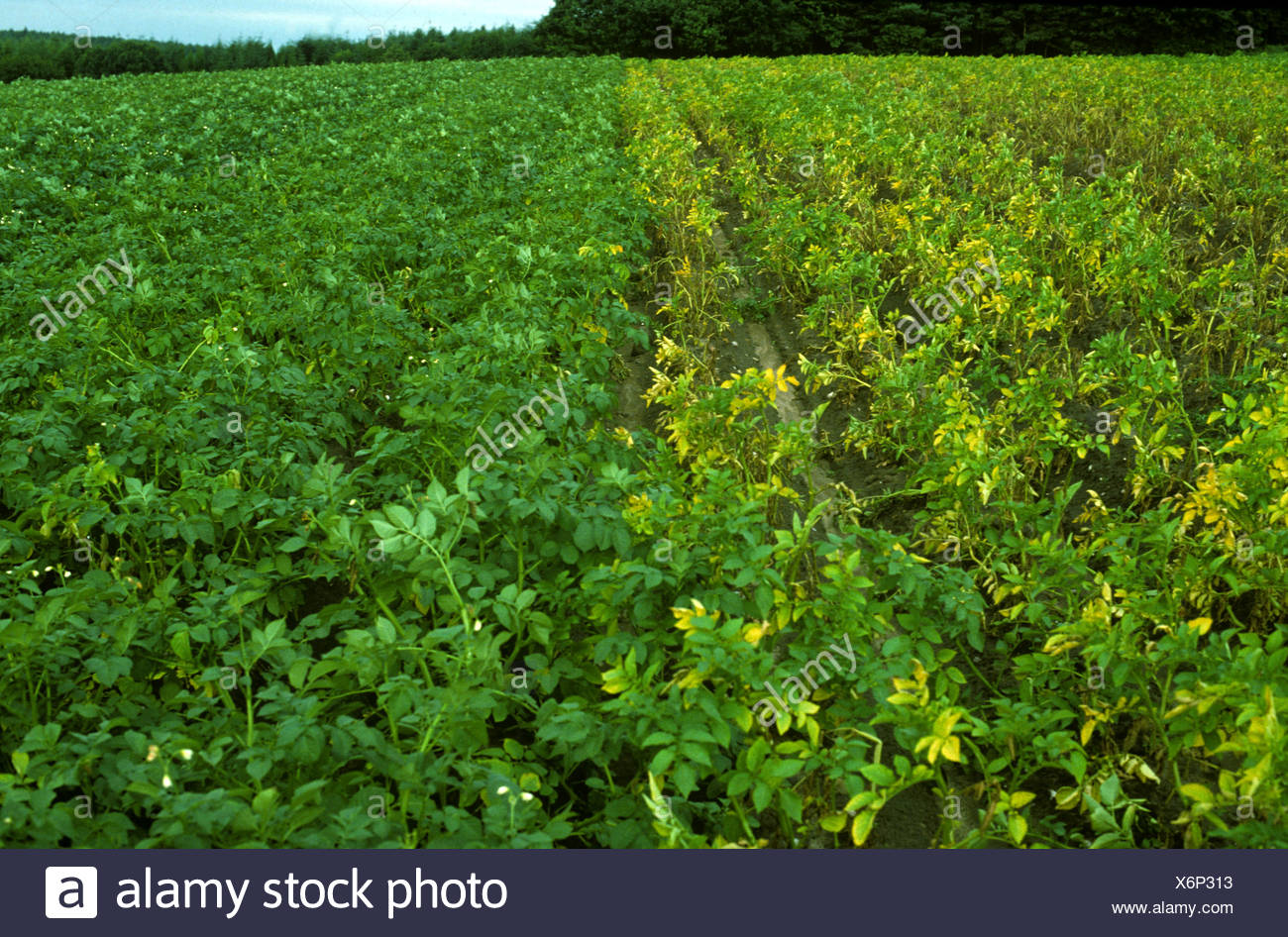 Goldene Kartoffel Zyste nematode Globodera rostochiensis Schäden an Kartoffelernte cv-resistente Sorte Stockbild