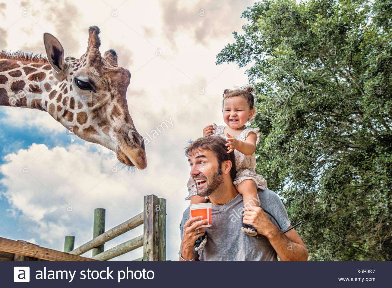 Kichernde Mädchen auf Väter Schultern Fütterung Giraffen im zoo Stockbild