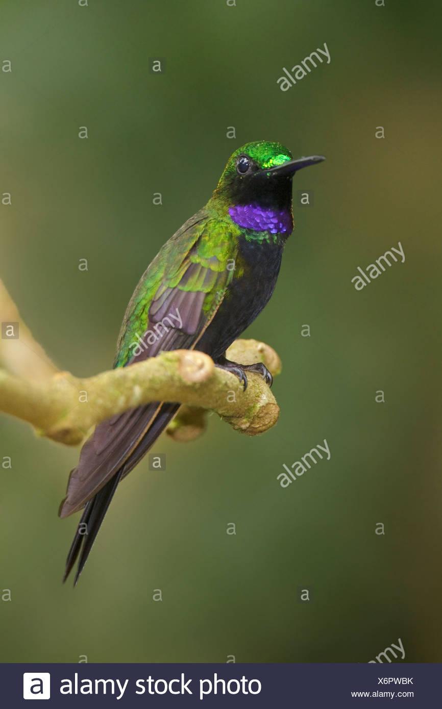 Black-throated brillant (Heliodoxa Schreibersii) thront auf einem Ast an der Wildsumaco-Reserve im Osten Ecuadors. Stockbild