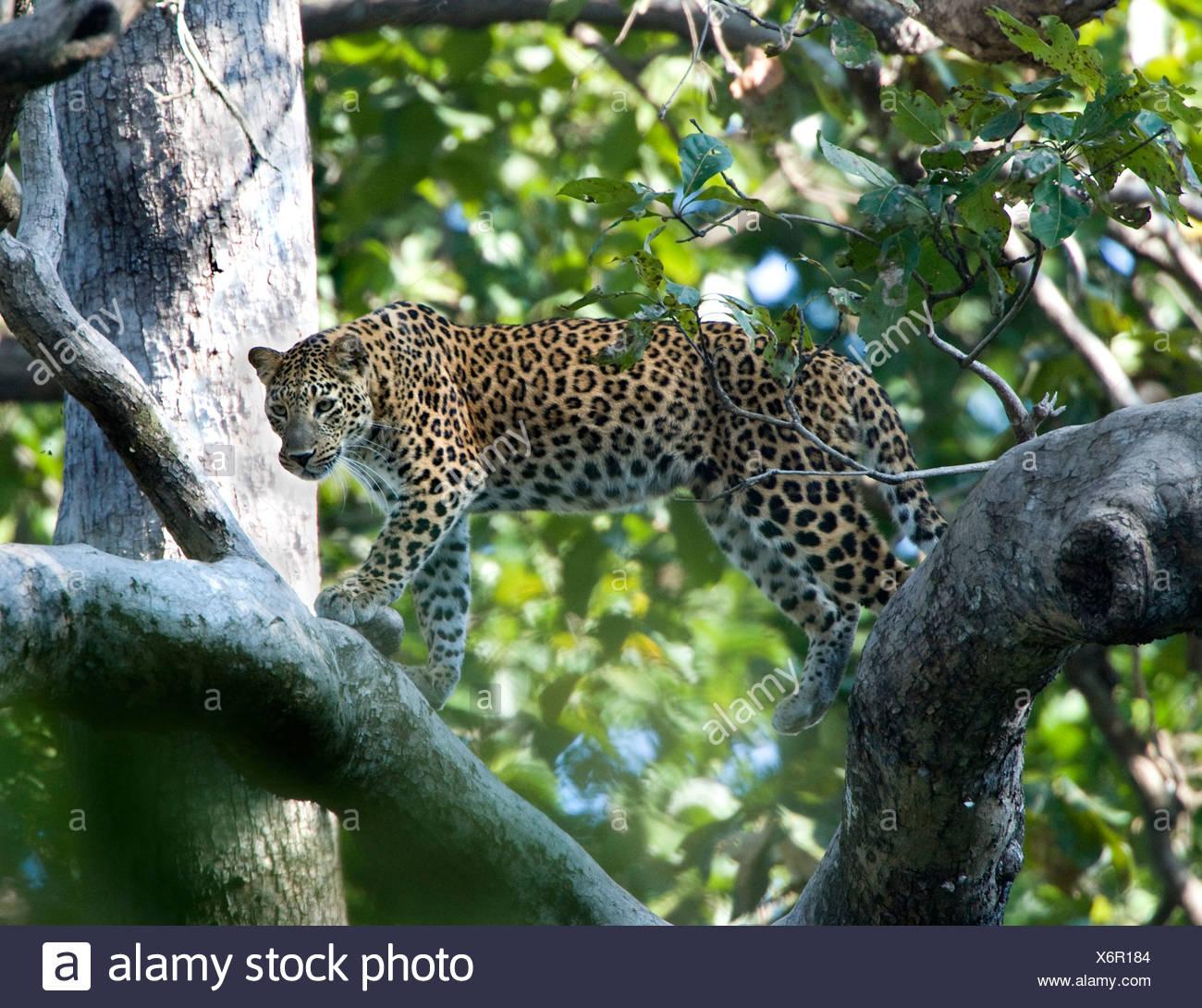 Asiatischen Leoparden Panthera Pardus Wandern Ast Stockbild