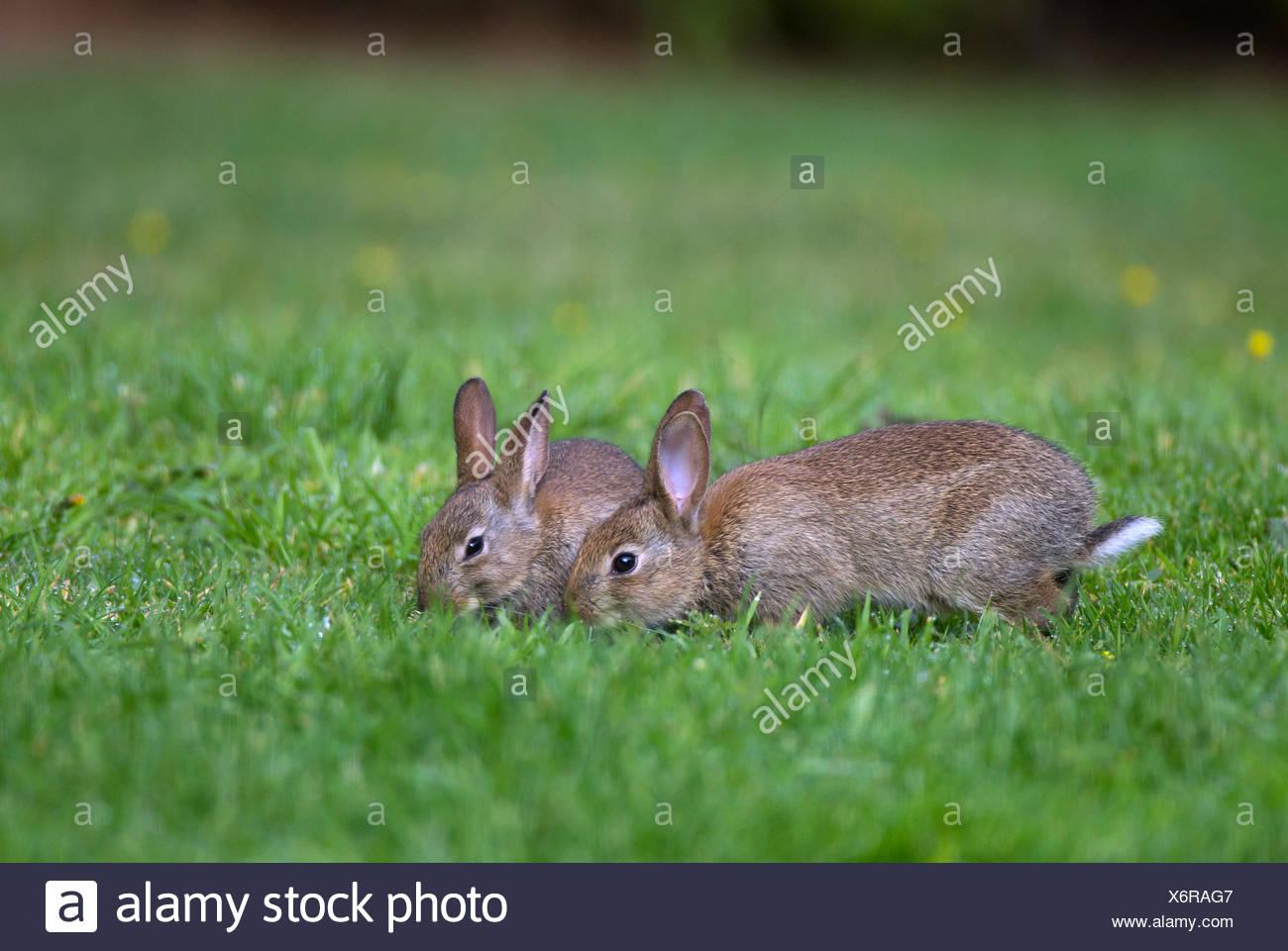 Europäische Kaninchen oder gemeinsame Kaninchen (Oryctolagus Cunniculus), zwei junge Fütterung auf eine Wiese im Garten, Norfolk, Großbritannien Stockfoto
