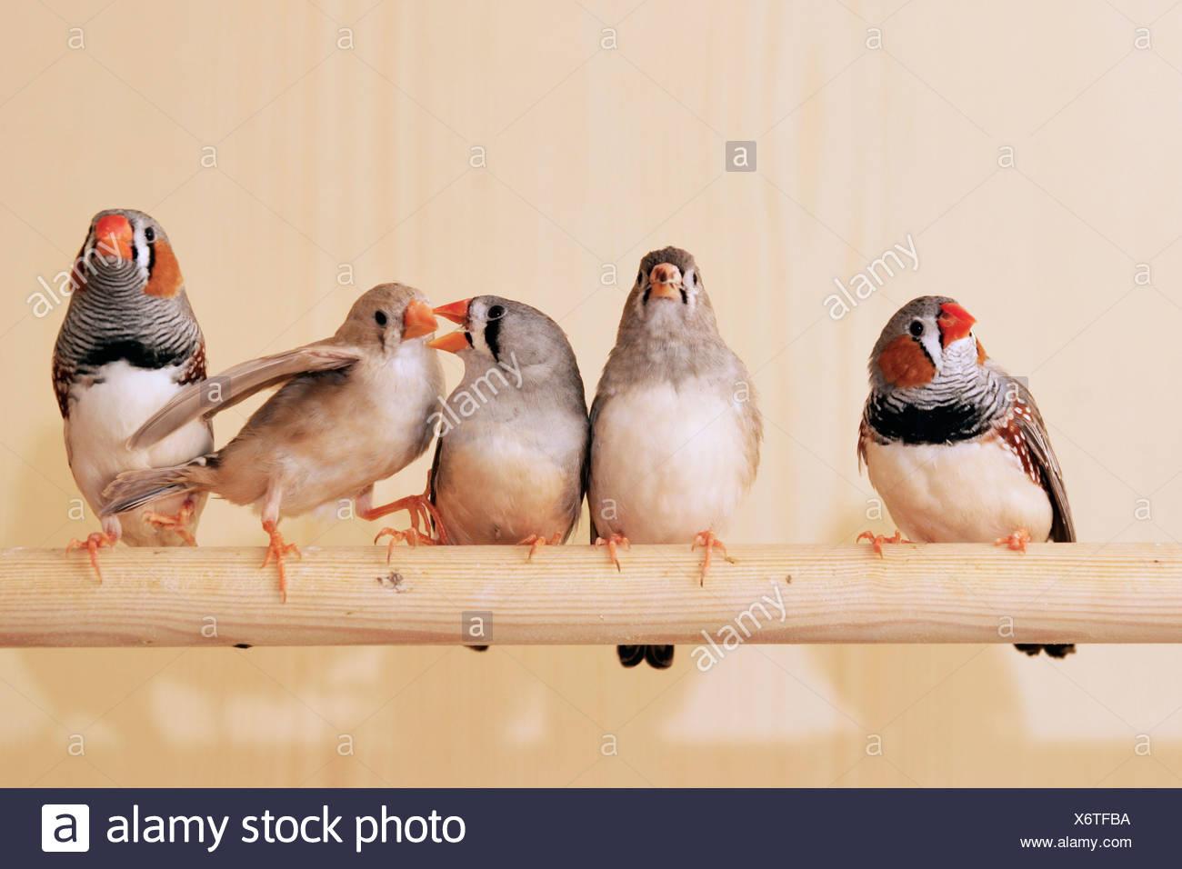 Diamands Mandarinen in einem Vogelkäfig Stockbild