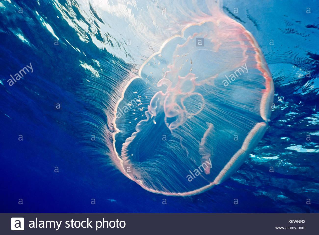 Mond Qualle, Aurelia Golden Key Largo, Florida, USA Stockfoto