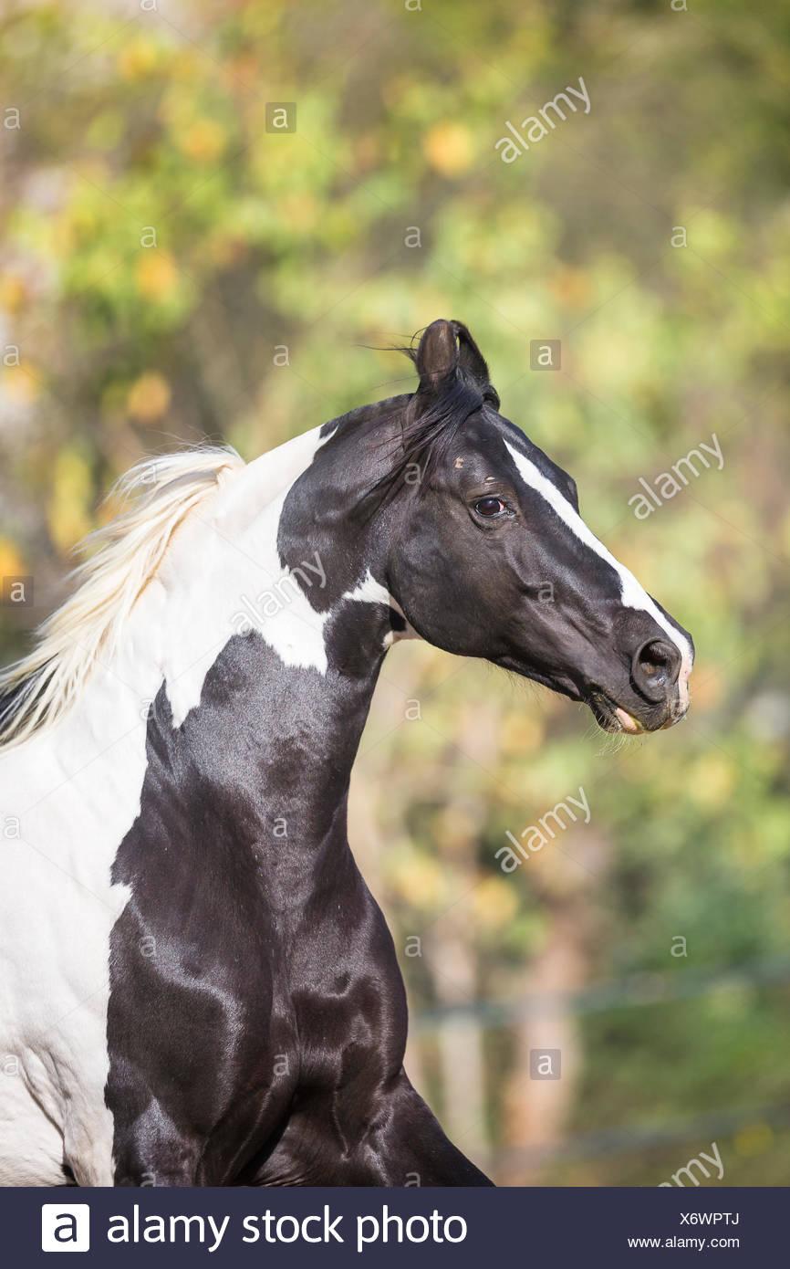 Marwari Pferde. Porträt des gescheckten Hengst. Indien Stockbild