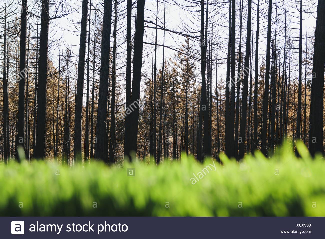 Washington State USA üppigen grünen Rasen verbrannt vor kurzem Wald Stockbild