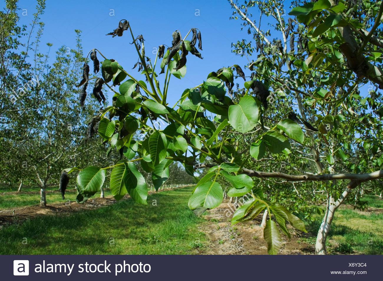 Landwirtschaft - Schaden Nussbaum Laub verursacht durch eine schwere ungewöhnliche Frühling Einfrieren / in der Nähe von Dairyville, Kalifornien, USA. Stockbild