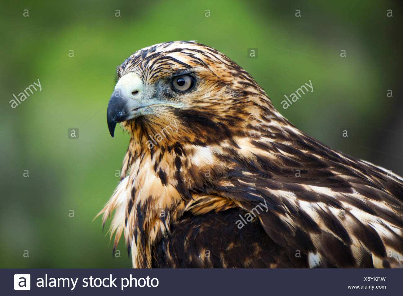 Galapagos-Falke (Buteo Galapagoensis) auf einem Felsen. Dieser Raubvogel stammt aus den Galapagos-Inseln, wo es ernährt sich von einer Breite v Stockbild