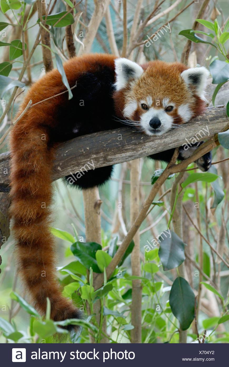 roter panda kleiner panda katzenbaer stockfoto bild 279672374 alamy. Black Bedroom Furniture Sets. Home Design Ideas