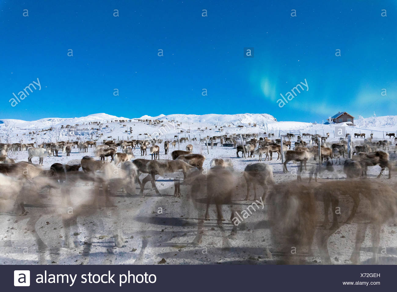 Herde von Rentieren unter Northern Lights, abisko, Norrbotten County, Gemeinde Kiruna, Lappland, Schweden Stockbild