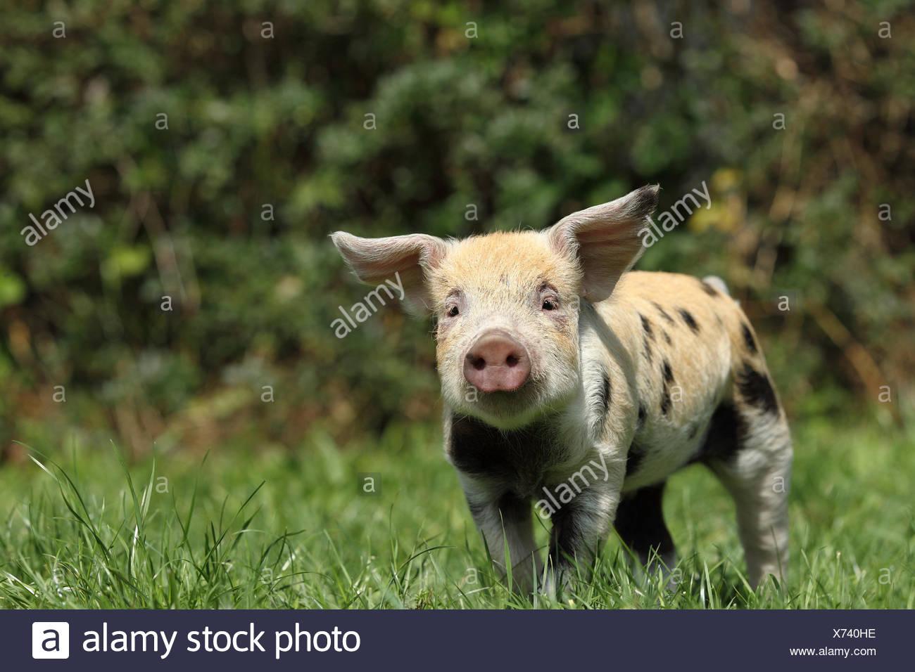 Hausschwein, Turopolje x?. Ferkel (3 Wochen alt) auf einer Wiese. Deutschland Stockbild