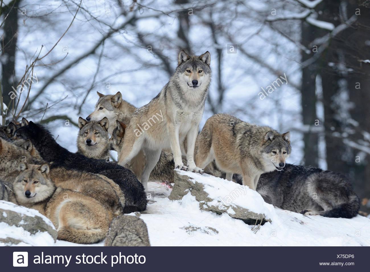 Wolf, Tier, Raubtier, Wölfe, Raubtiere, grauer Wolf, Caniden, Canis Lupus LYKAON, Deutschland, Europa, Stockbild