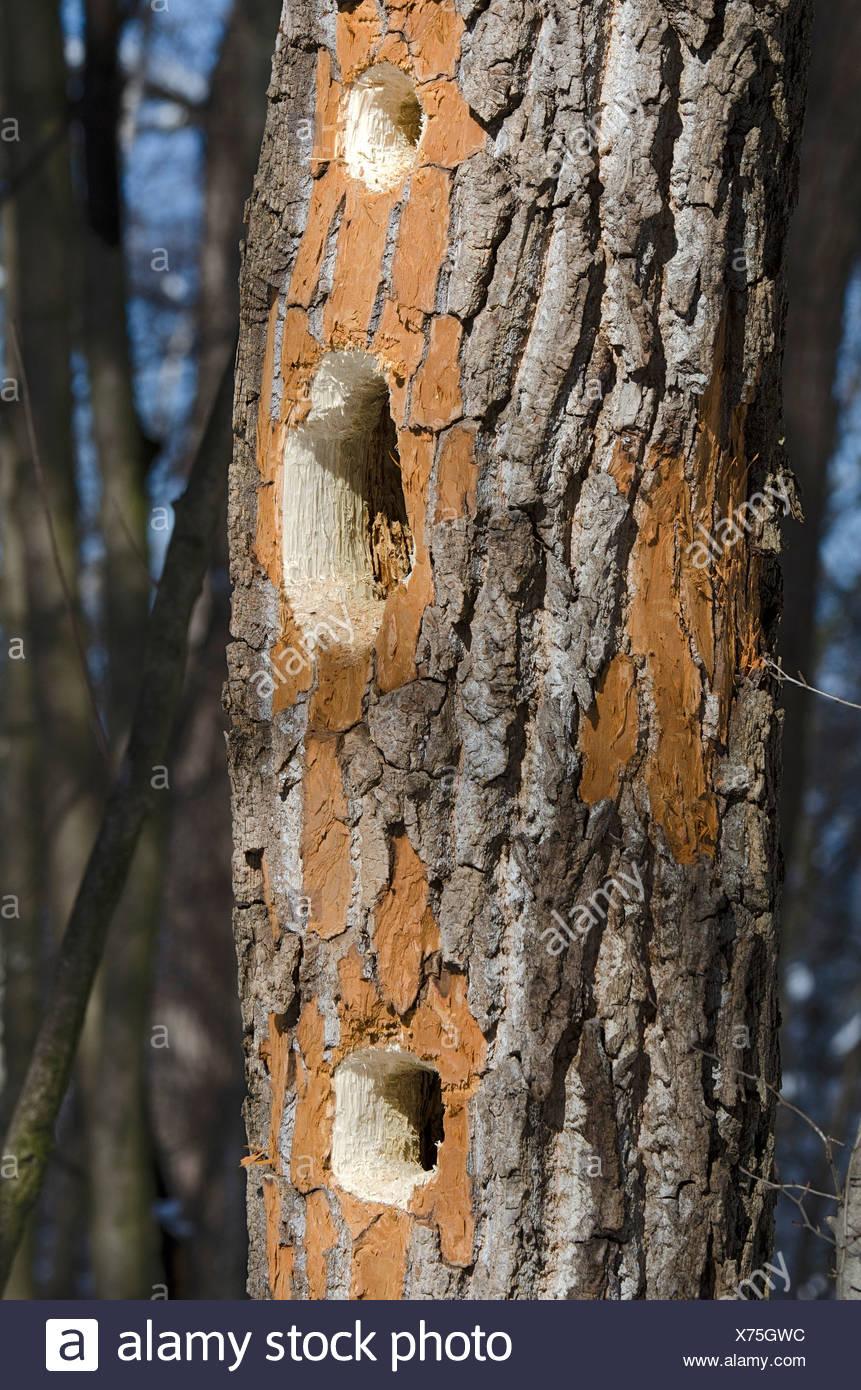 Marken einen Schwarzspecht (Dryocopus Martius), kauen Landschaftsschutzgebiet Tratzberg Naturschutzgebiet, Tirol, Österreich Stockbild