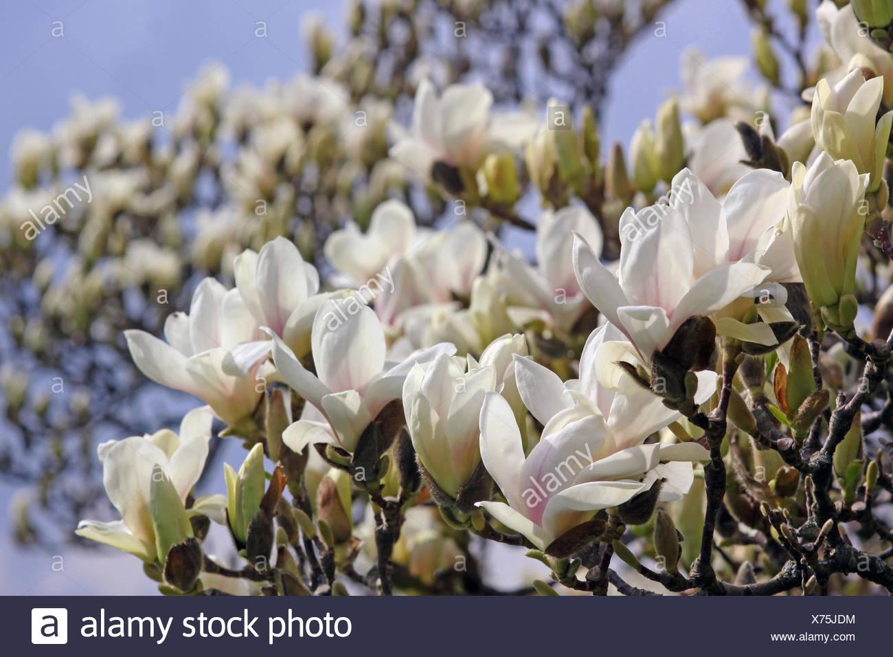 magnolie blütezeit