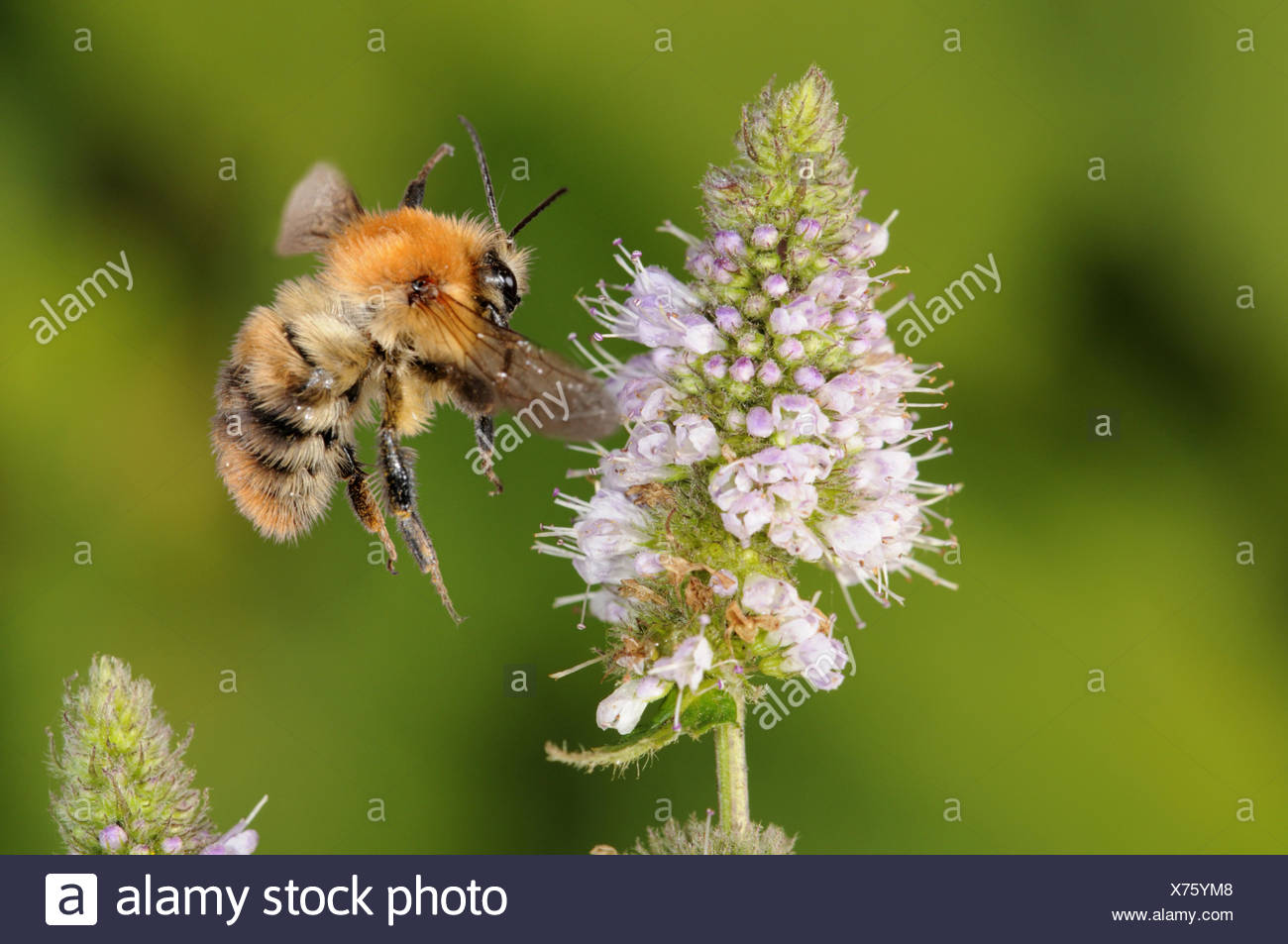 Gemeinsamen Carder Bee - Bombus pascuorum Stockbild