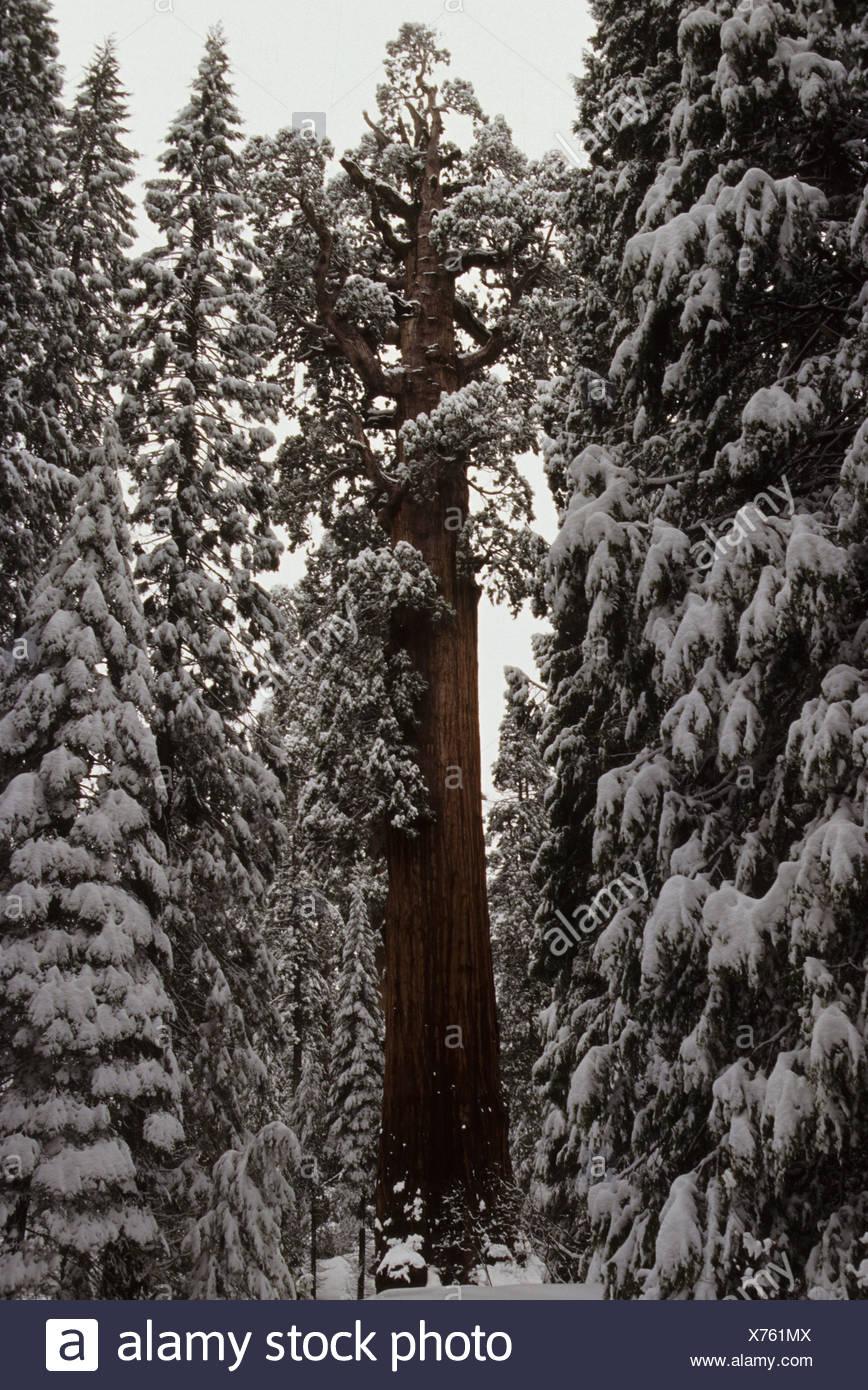 Ndr Weihnachtsbaum.General Grant Tree The Nation Weihnachtsbaum Lebendiges Heiligtum