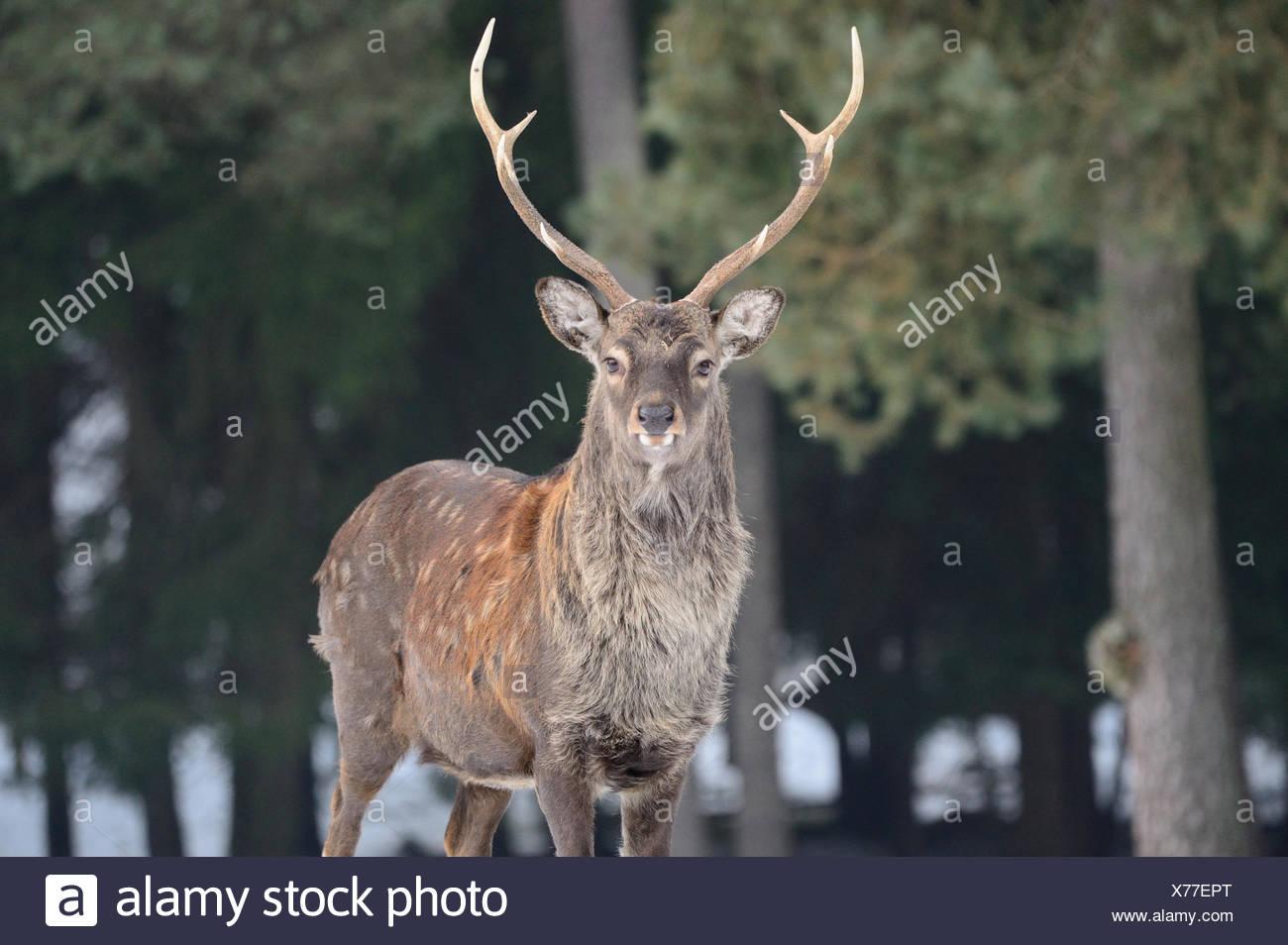 Sika, Tier, Tier, Winter, japanische Reh, Hirsch, Hirsch, Cervus Nippon, Rehe, Hirsche, Tiere, Wildtiere, asiatische Rotwild, Brunft Meer Stockbild
