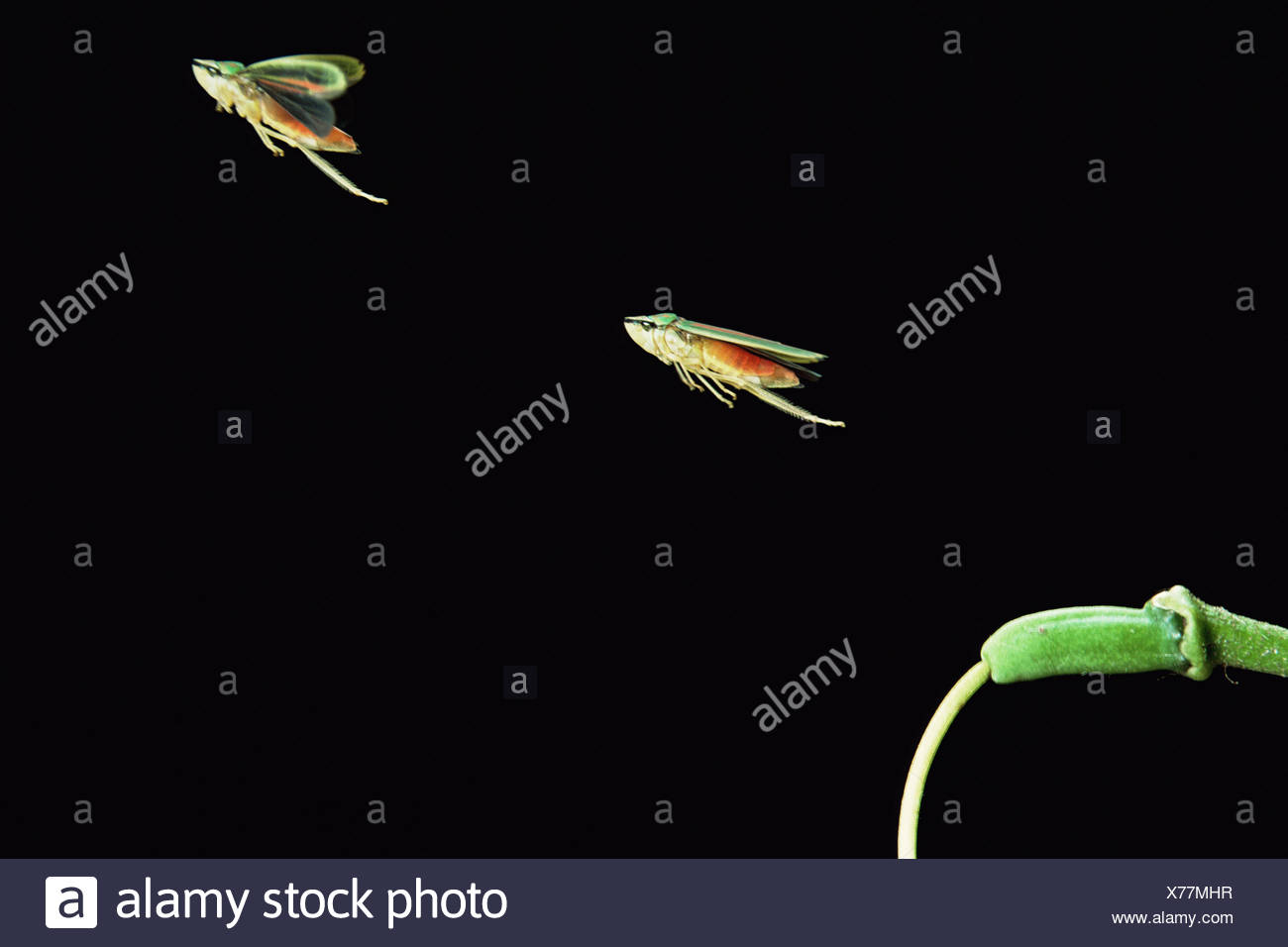 Rote gebänderten Blatt-Trichter (Graphocephala Coccinea) springen, Doppelbelichtung. In Gefangenschaft, UK Stockbild