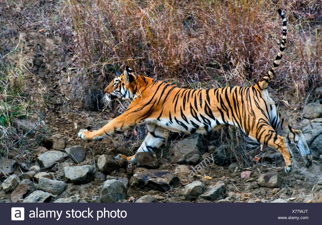 Koenigstiger, Indischer Tiger (Panthera Tigris Tigris), Bengaltiger Sprintet Zum Angriff, Indien, Tadoba Nationalpark | Bengalen Stockbild