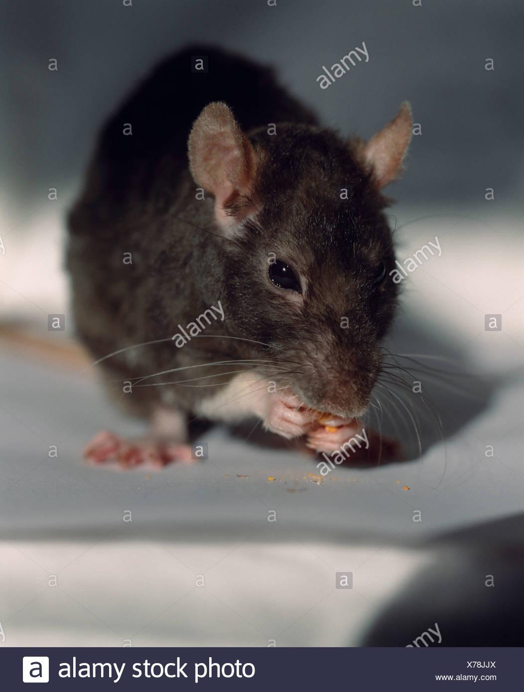 Maus, die Krümel zu essen Stockbild