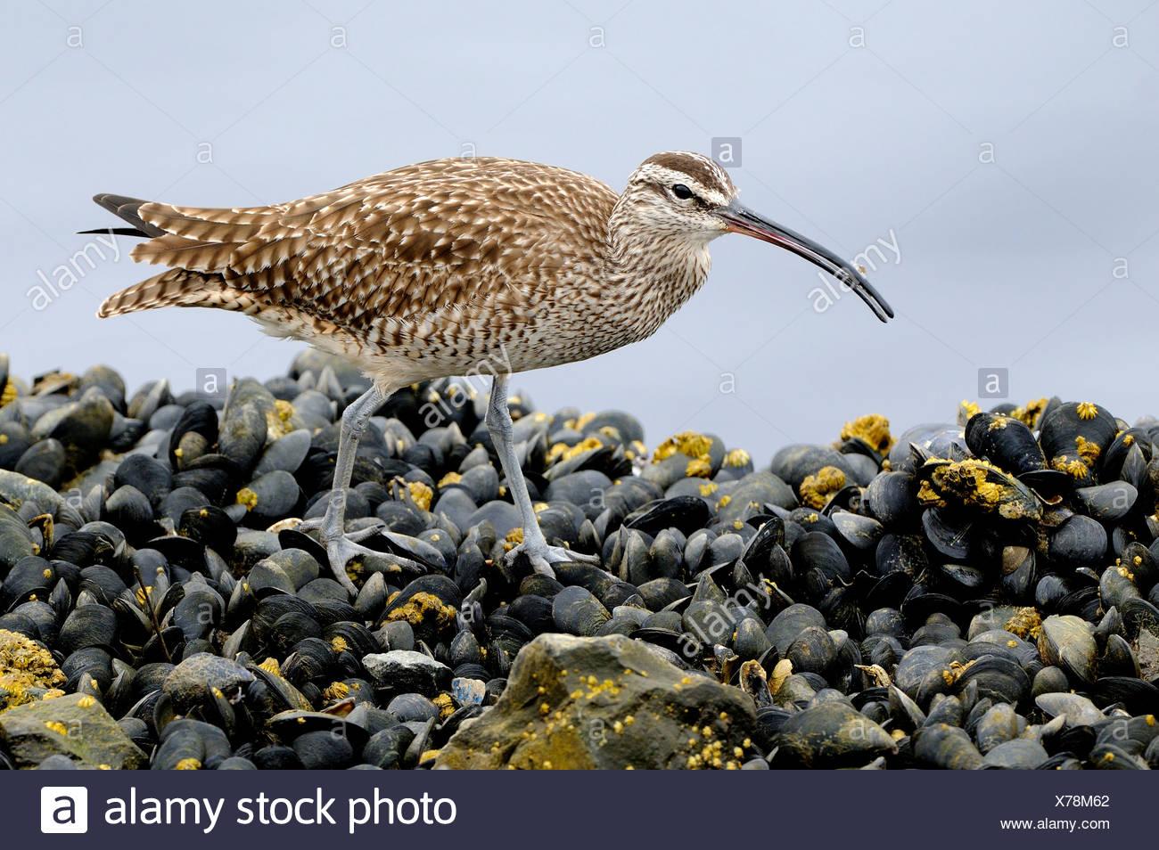 Regenbrachvogel (Numenius Phaeopus) auf Bett von Muscheln am Playa Del Ray CA Stockbild