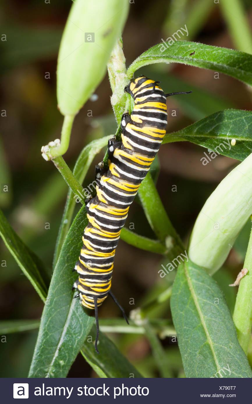 Nett Monarch Raupe Färbung Seite Fotos - Malvorlagen Von Tieren ...
