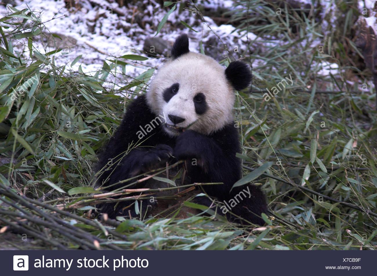 Giant Panda Ailuropoda Melanoleuca Futterung Auf Bambus Wolong
