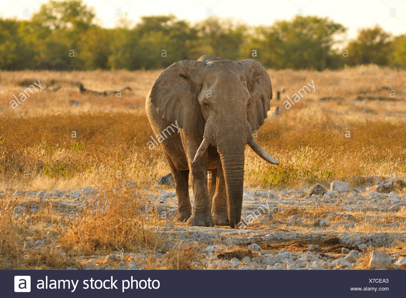 Afrika, Etosha Nationalpark, Namibia, Afrika, Tier, Sonnenuntergang, Elefant, Tier, Horizontal, Landschaft, Ebenen, Safari, Savanne Stockbild