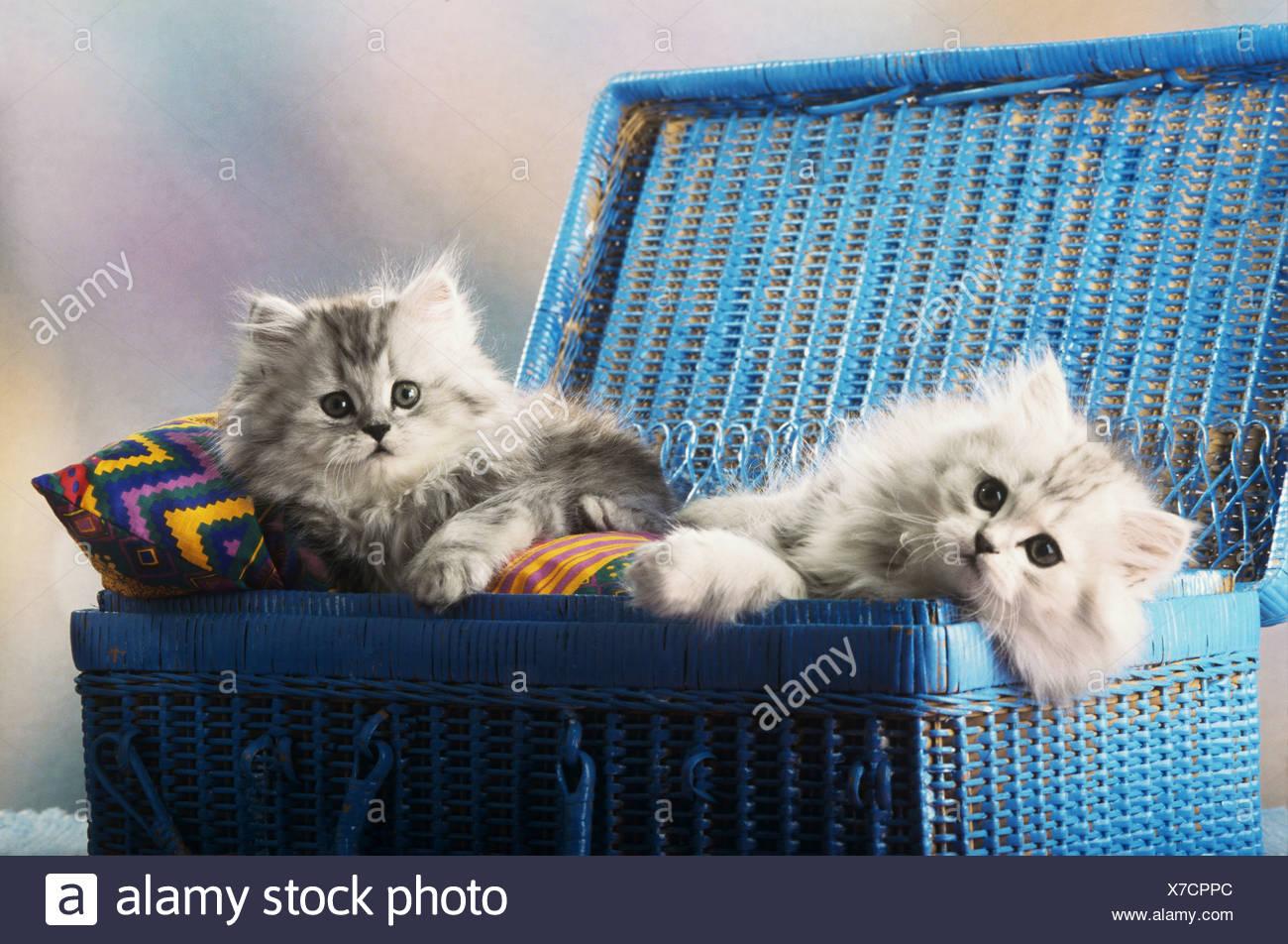 zwei junge persische Katzen im Korb liegen Stockbild