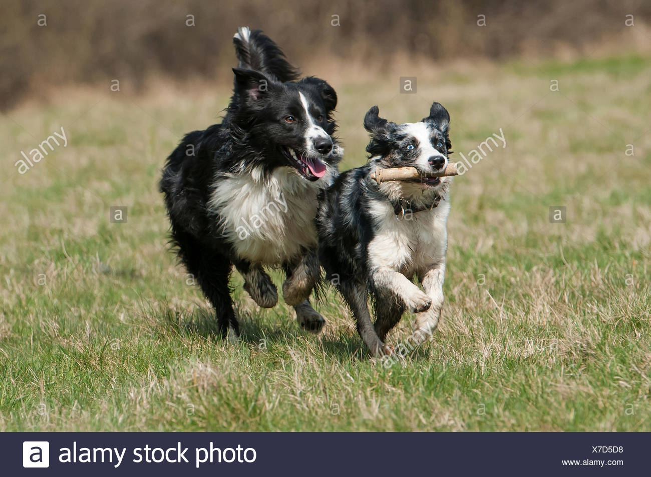 Miniature Collie Stockfotos Und Bilder Kaufen Alamy