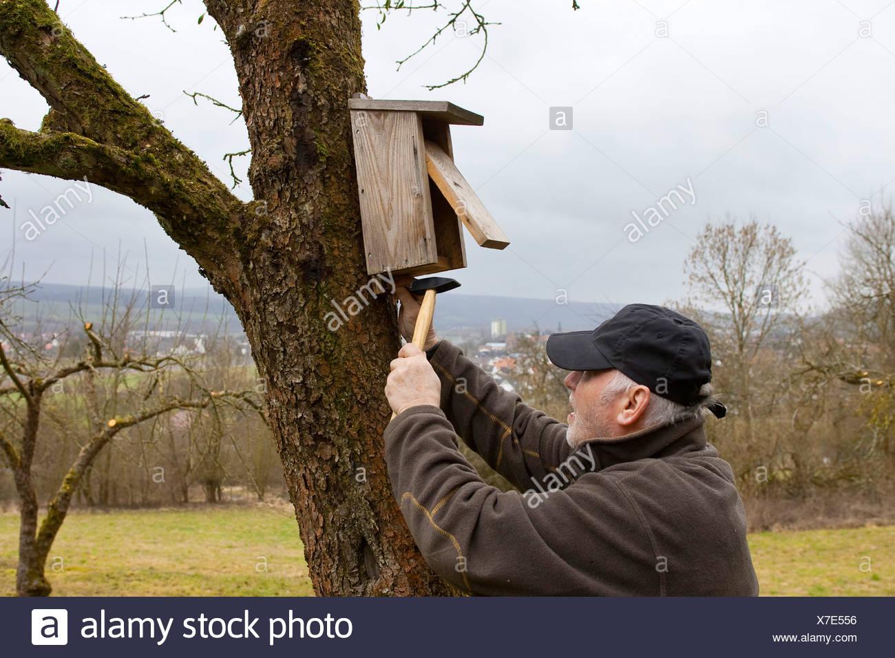 Alter Mann passend Nistkasten am Stamm des Baumes Frucht, Deutschland Stockbild