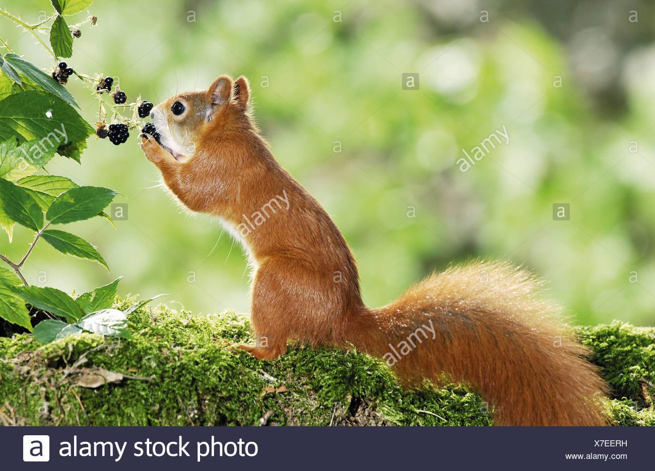Junge europäische Eichhörnchen essen Brombeeren Stockbild